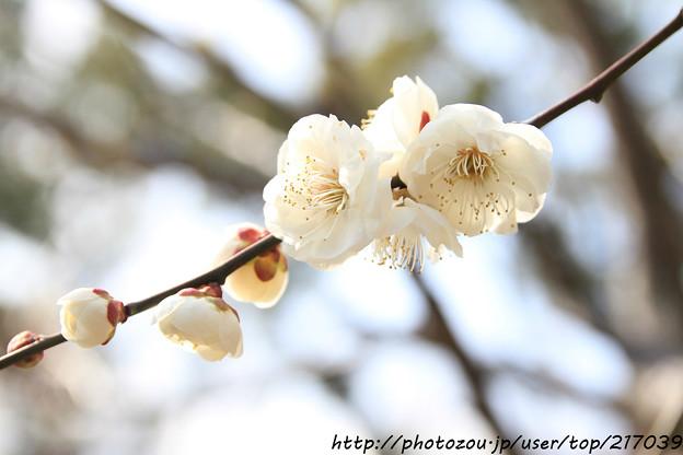 IMG_6429北野天満宮・白梅