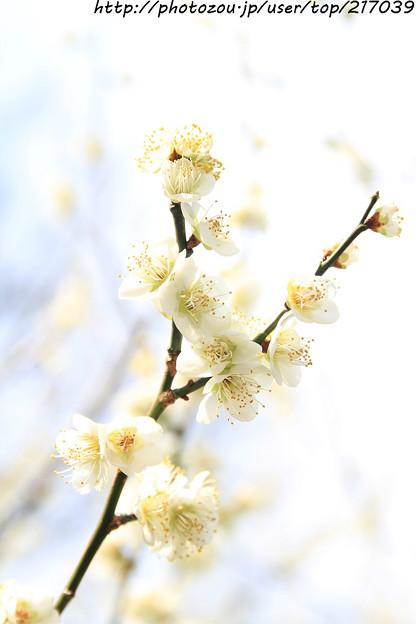 IMG_6506北野天満宮・梅苑・白梅