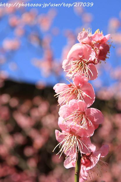 IMG_6700神苑・春の山・紅梅