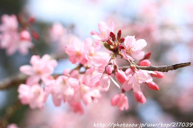 IMG_6862醍醐寺・紅枝垂桜