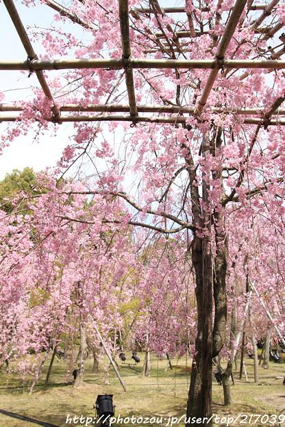 IMG_7057平安神宮・南神苑・八重紅枝垂桜