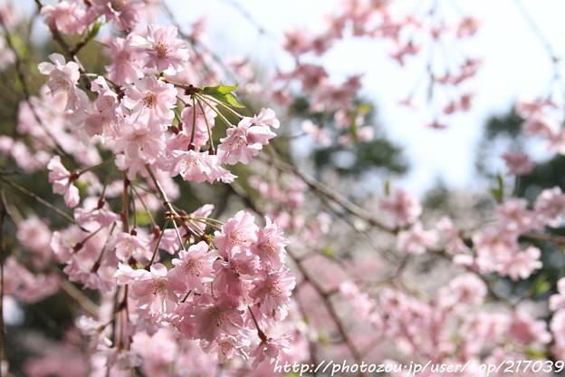 IMG_7079平安神宮・南神苑・八重紅枝垂桜