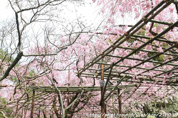 IMG_7080平安神宮・南神苑・八重紅枝垂桜