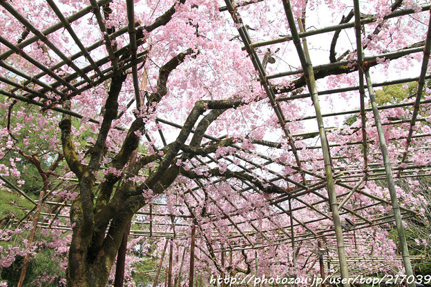 IMG_7085平安神宮・南神苑・八重紅枝垂桜