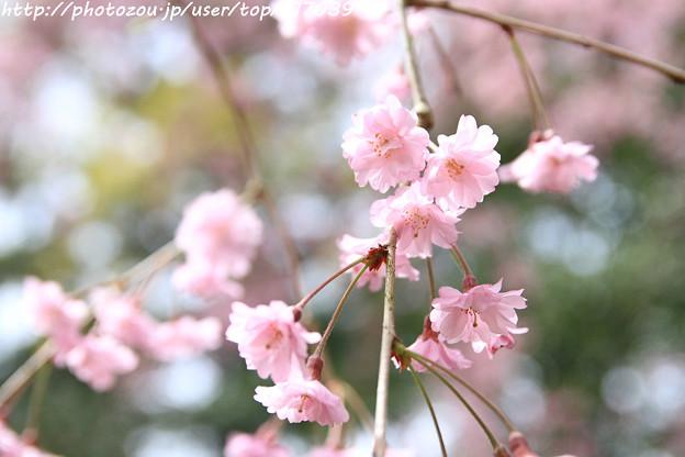 IMG_7103平安神宮・南神苑・八重紅枝垂桜