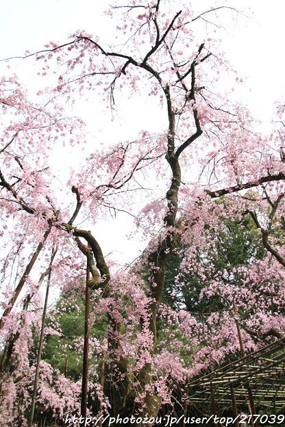 IMG_7107平安神宮・南神苑・八重紅枝垂桜