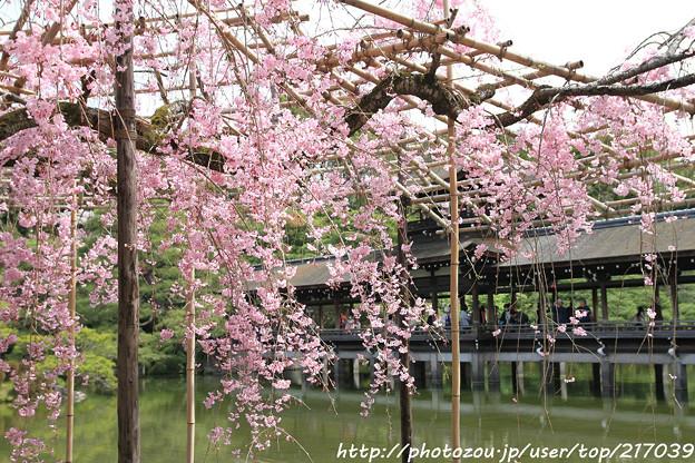 IMG_7173平安神宮・東神苑・紅枝垂桜と泰平閣(橋殿)