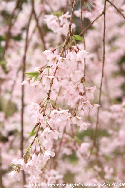 IMG_7445彦根城・紅枝垂桜