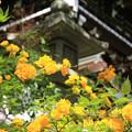 Photos: IMG_7542松尾大社・山吹と灯篭