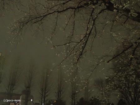 夜桜 P4010222