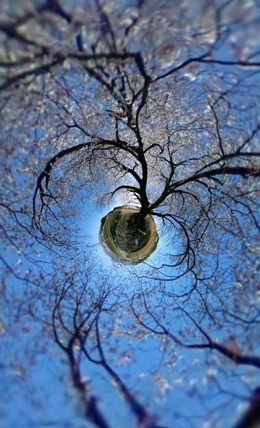 大坪の一本桜1