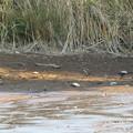 写真: 水抜きで死んだドブガイ?
