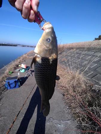 霞ヶ浦で釣れた鯉