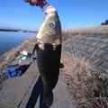 Photos: 霞ヶ浦で釣れた鯉