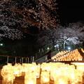 写真: 夜桜キャンドルナイト
