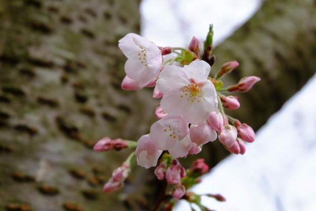Photos: 桜とつぼみ