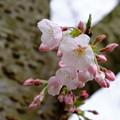 写真: 桜とつぼみ