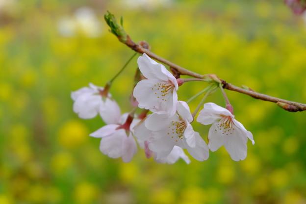 写真: 桜 菜