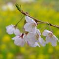 Photos: 桜 菜