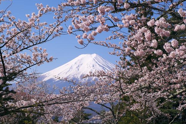 Photos: 桜と富士
