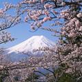 写真: 桜と富士