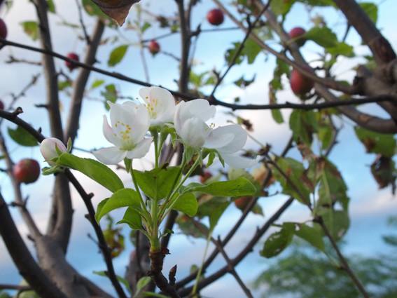 ヒメリンゴ5