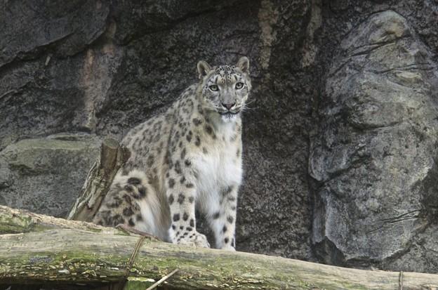 Photos: 雪豹(Snow Leopard)