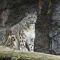 雪豹(Snow Leopard)