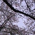 Photos: 生憎の曇天やけど、バイト帰りの一人お花見もエエもんやね~。まだ、...