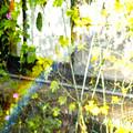 Photos: 庭に咲いてくれた虹