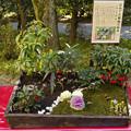 Photos: おめでた植物の箱庭