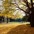Photos: 代々木公園 銀杏黄葉