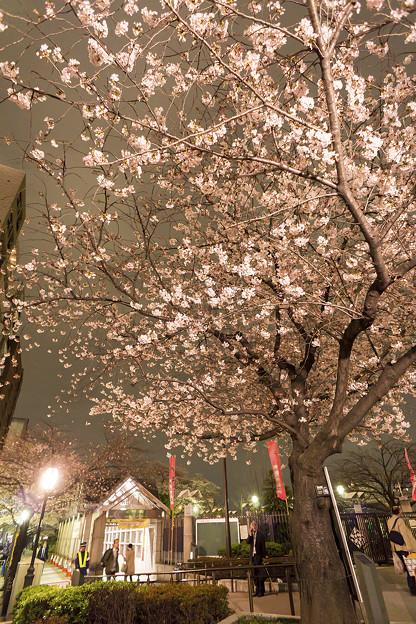 隅田川夜桜