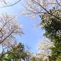 Photos: 見上げれば桜