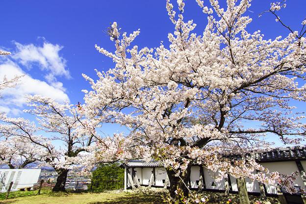 青空とおとめ桜