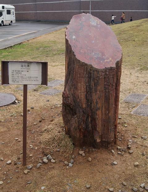 福井県立恐竜博物館.珪化木