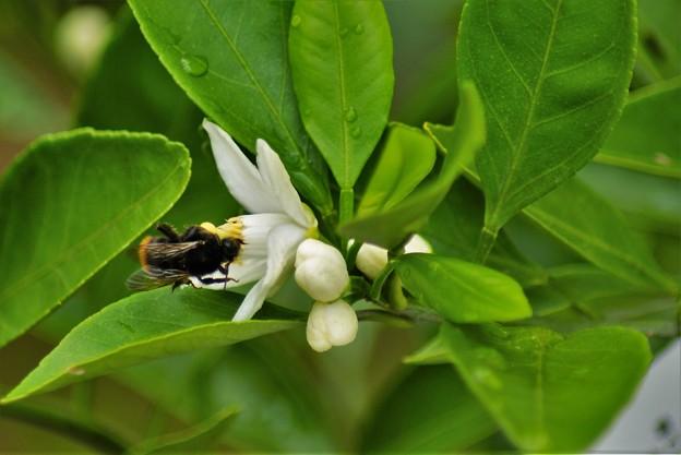 蜜柑の花と蜂