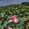 Photos: 2014年7月30日 蓮華寺池公園 蓮 (1)