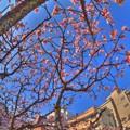 熱海桜(6) HDR