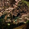 熱海桜 ライトアップ(1) HDR