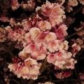 熱海桜 ライトアップ(2) HDR