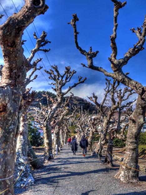 写真: 2016年2月7日 興津 果樹研究所 プラタナス並木(1)