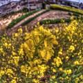 菜の花(3) 長尾川左岸