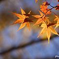 Photos: 黄葉