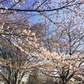 写真: 160331 多摩卸売市場付近の桜