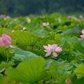 Photos: 義呂池の蓮