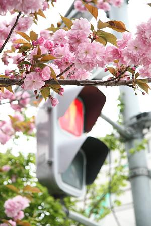 ボタン桜?