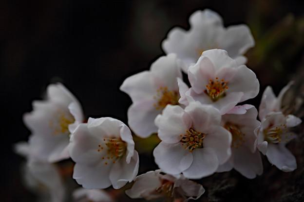 Photos: 北海道にも花見のシーズンが