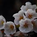 北海道にも花見のシーズンが