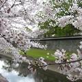 Photos: 長塀の桜